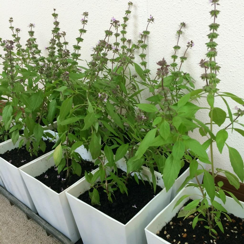 7月31日はホーリーバジルの鉢植えやバジルティーの販売イベントの日です。