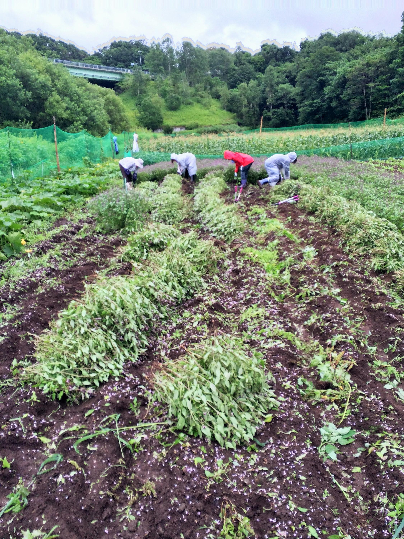 島松沢ホーリーバジル 2016年第一弾の収穫しました