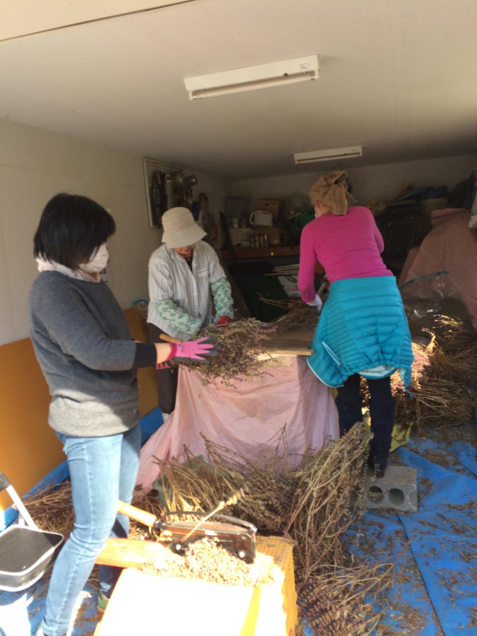 2016年島松沢ホーリーバジル畑の作業終了