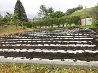 2017年ホーリーバジルの苗植えが終わりました。